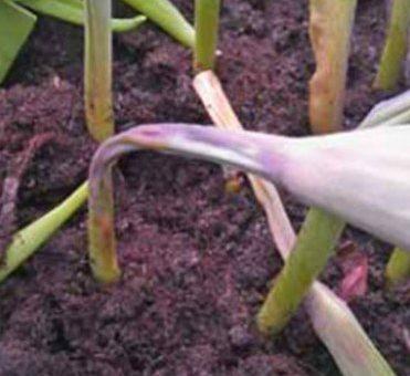 Поникание бутона или топпинг у тюльпанов