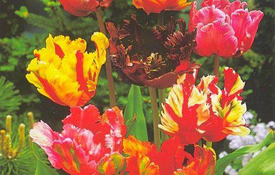 Попугайные тюльпаны: экзотические сорта привычного цветка