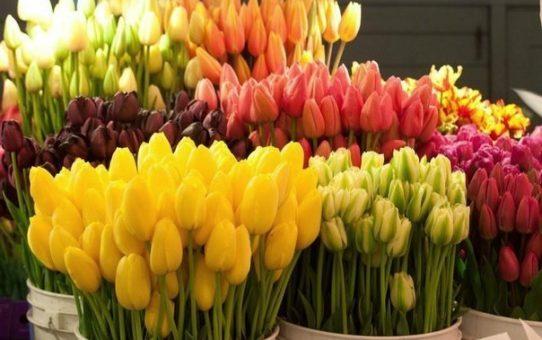 Как вырастить тюльпаны ко Дню Святого Валентина