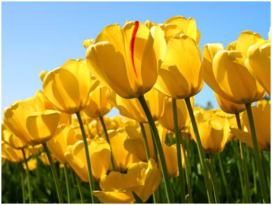 Выращивание тюльпанов на садовом участке