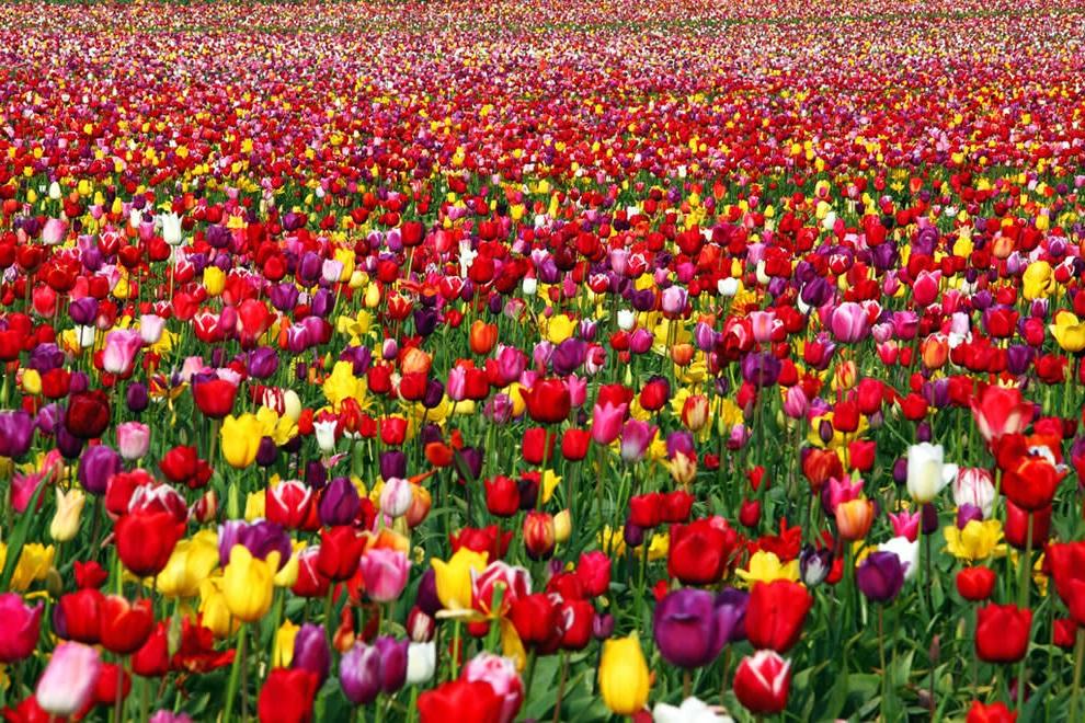 качественные луковицы тюльпанов