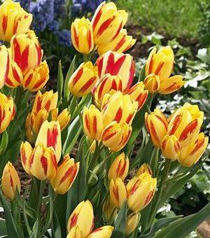 Многоцветковые тюльпаны: капризное чудо для весенней клумбы