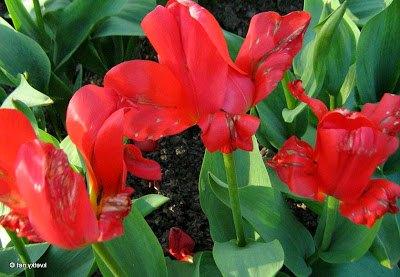 Болезни тюльпанов и методы их лечения