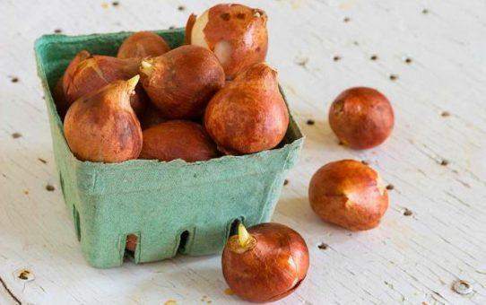 Как хранить луковицы тюльпанов, чтобы они не болели