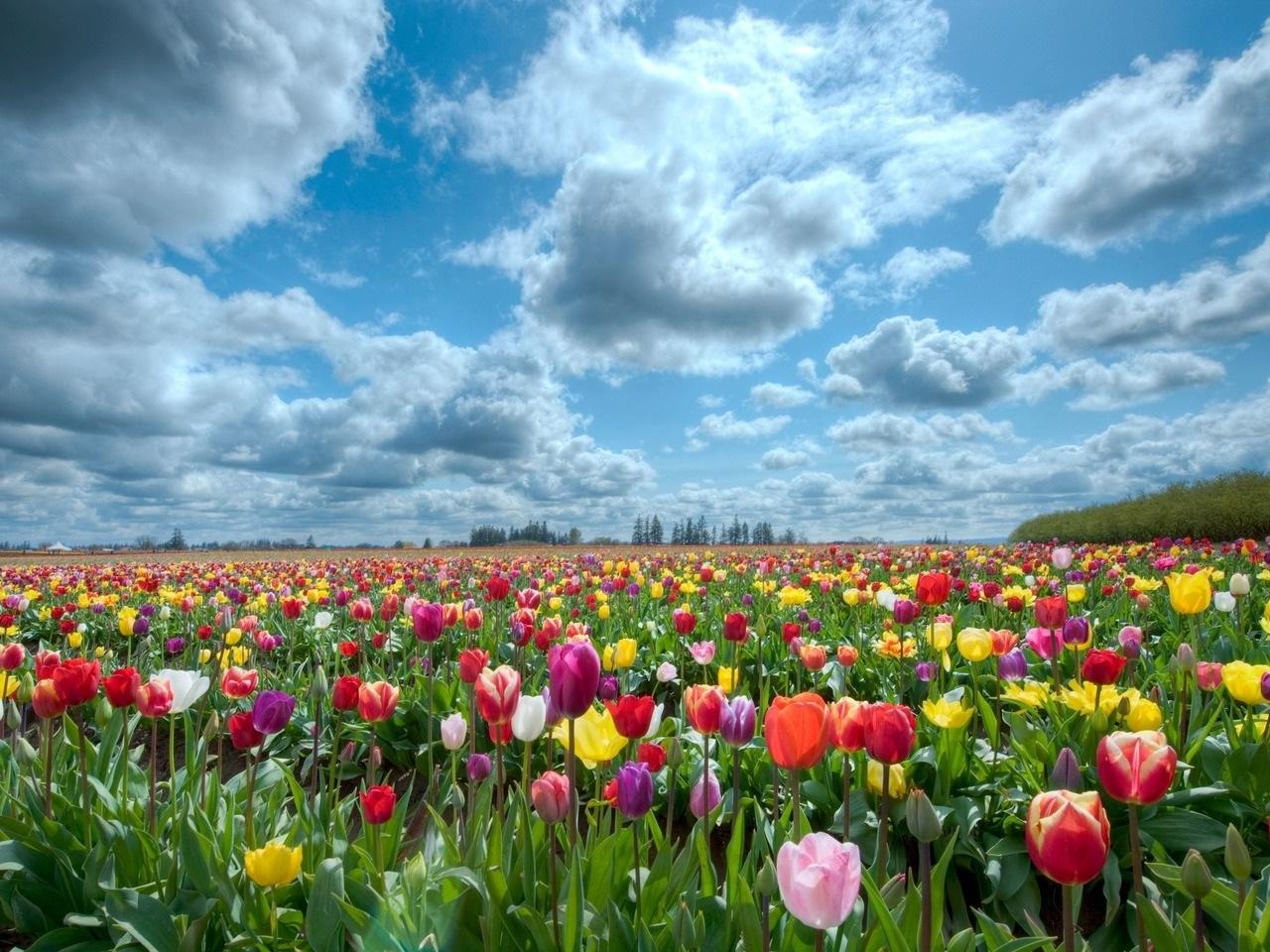 Как сажать луковицы тюльпанов