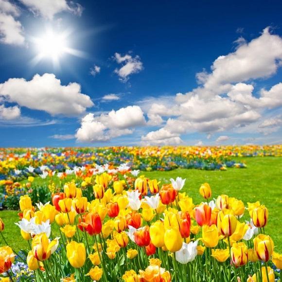 Подкормка тюльпанов