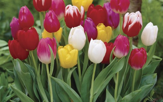 Tulipa Triumph mixed